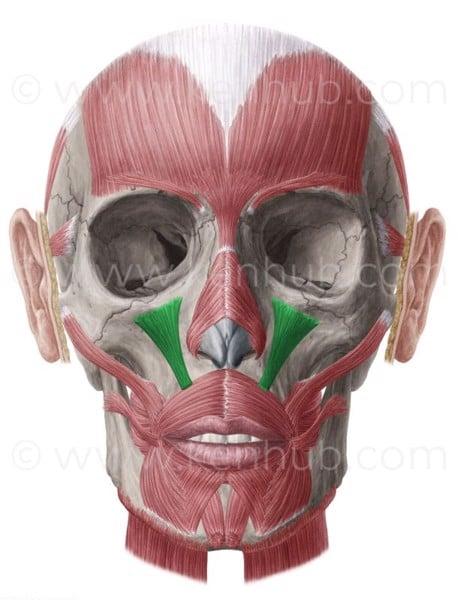 cơ nâng môi trên bám xương gò má
