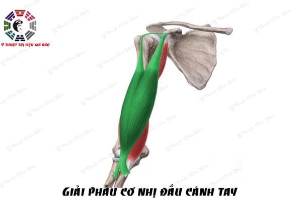 giai phau co nhi biceps brachii