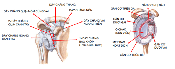 hình ảnh giải phẫu dây chằng quanh vai
