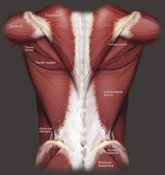 Cơ lưng