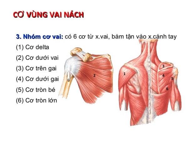 hình ảnh giải phẫu cơ vai nách