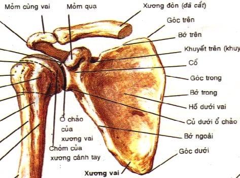 Giải phẫu cấu tạo xương khớp vai