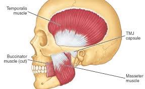 giải phẫu cơ nhai masticatory muscle