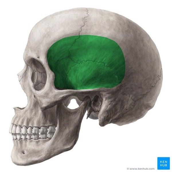 giải phẫu cơ thái dương temporalis