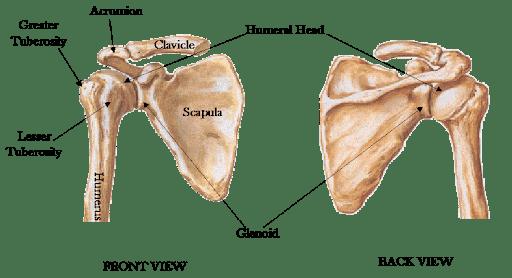 giải phẫu khớp vai