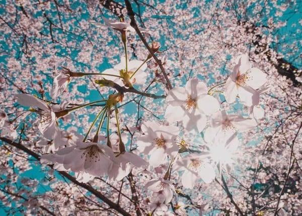 世の中は三日見ぬ間の桜かな