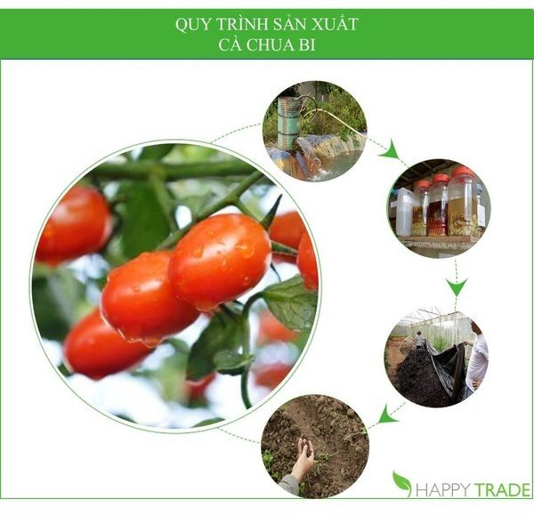 product_process_of_cherry_tomato