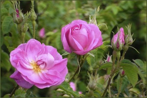 trà hoa hồng Iran
