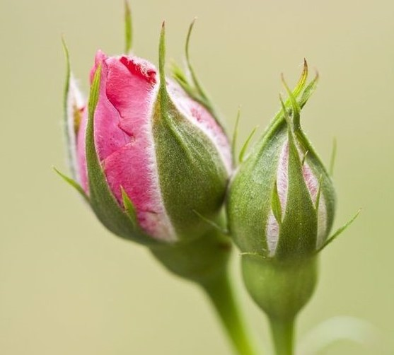 nụ hồng khô iran