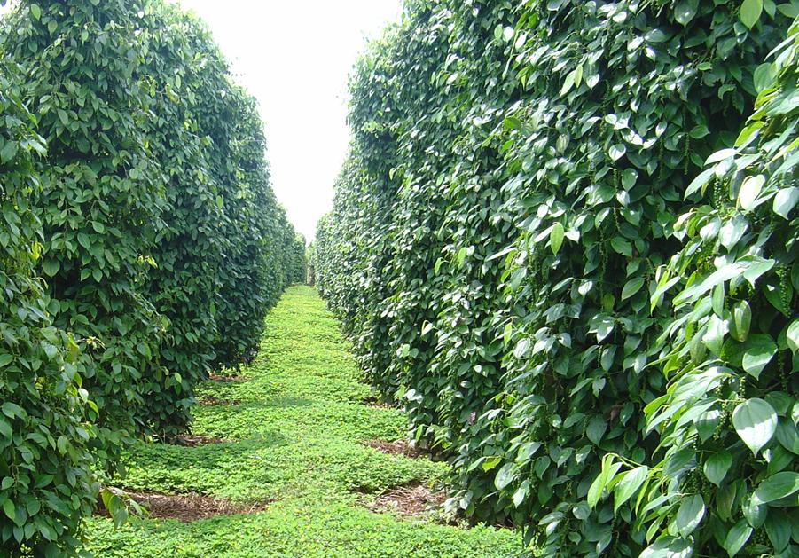 Quy trình kỹ thuật trồng cây hồ tiêu