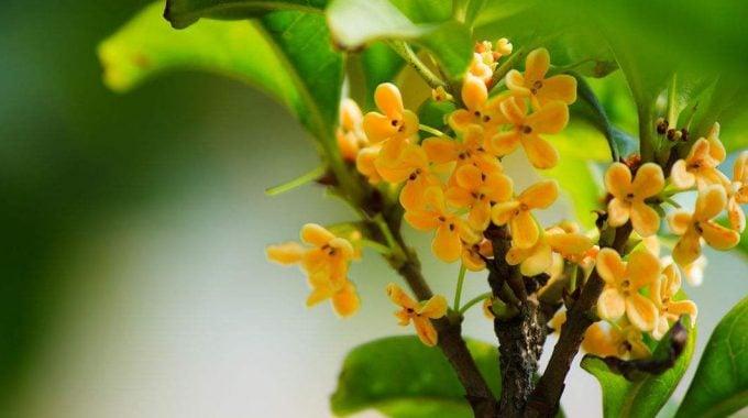 Cây quế và kỹ thuật trồng, chăm sóc cây quế
