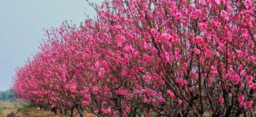 Các loại cây hoa nở vào mùa xuân của Việt Nam