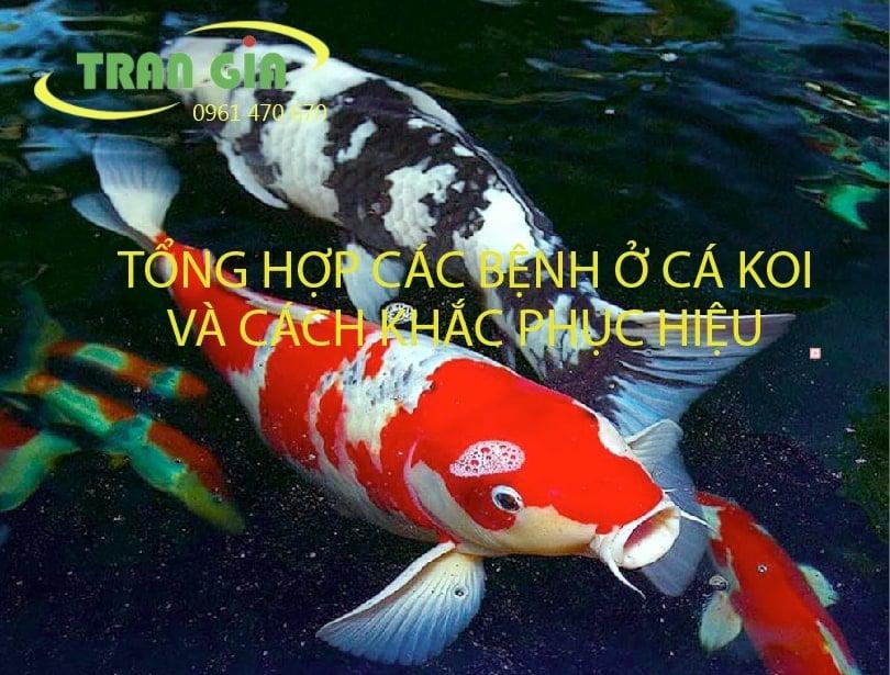 Tổng hợp các bệnh ở cá Koi và cách khắc phục hiệu quả nhất