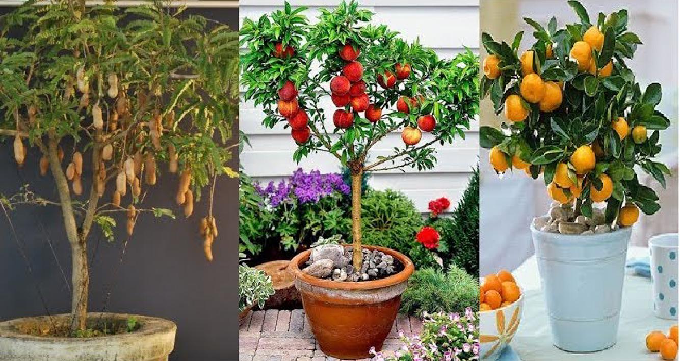 Những loại cây ăn quả có thể trồng trong chậu tại nhà - Phần 1