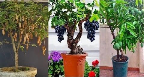 Những loại cây ăn quả có thể trồng trong chậu tại nhà - Phần 2
