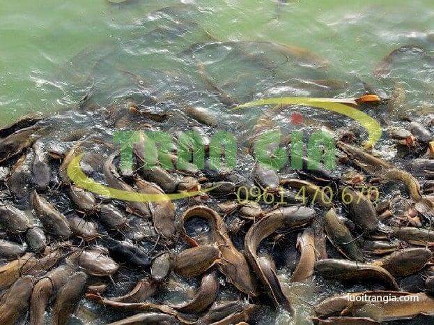 Xây bể xi măng nuôi cá trê mang lại hiệu quả khủng