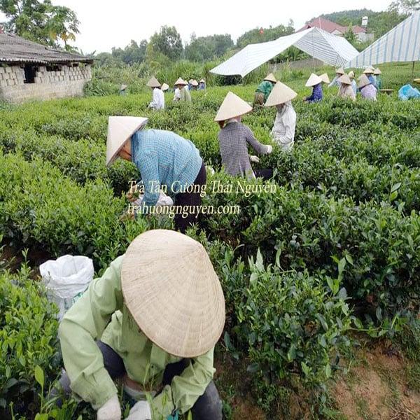 Quy trình sản xuất thủ công Chè Tân Cương Thái Nguyên trứ danh đất Việt