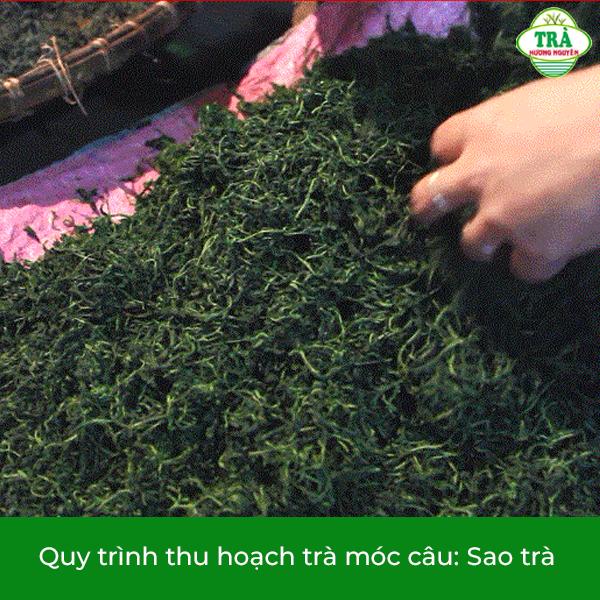 sao trà móc câu Thái Nguyên