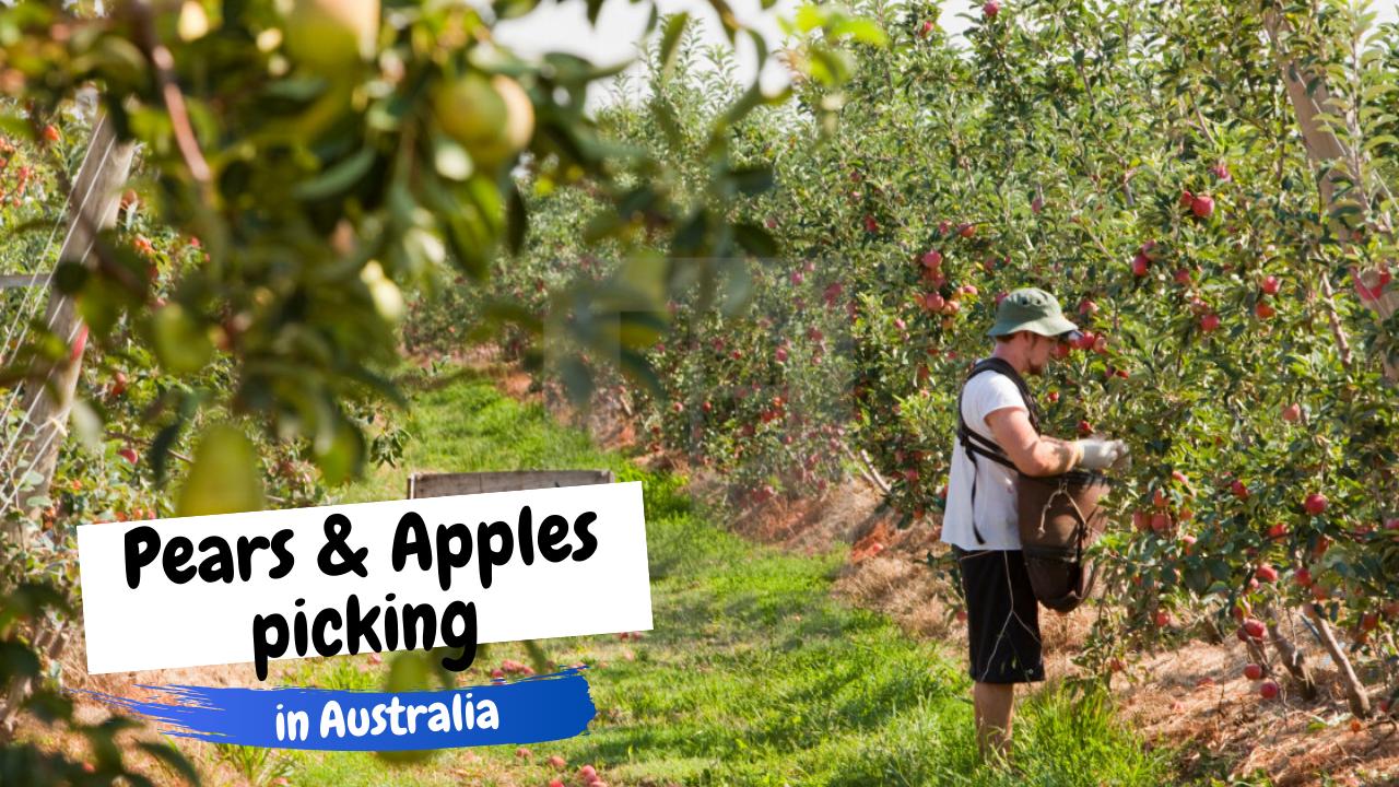 Pears and Apples picking in Australia   Thu hái Lê và Táo tại Úc