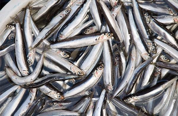 Nước mắm cá cơm mua ở đâu
