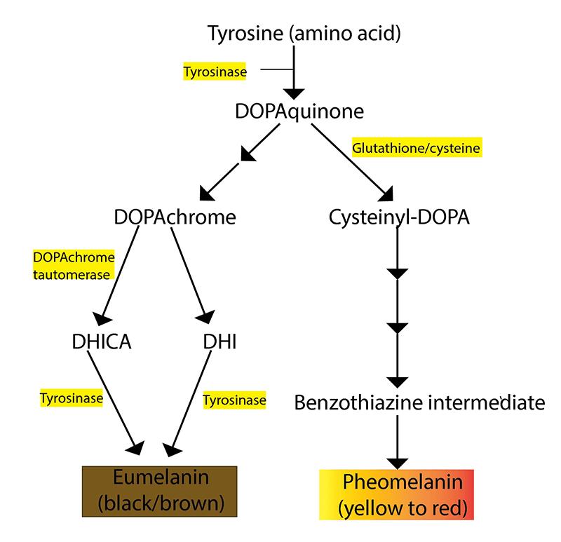 Cơ chế làm trắng da của Glutathione (GSH)