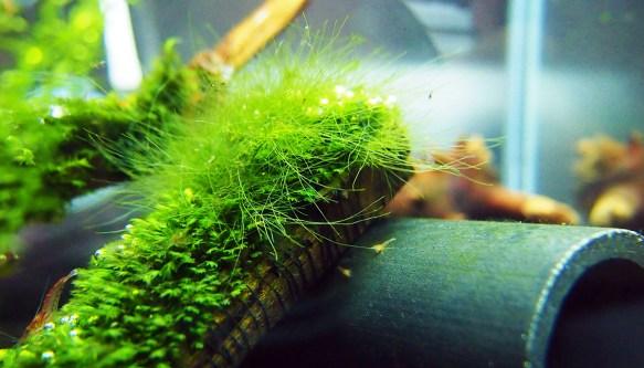 Rêu tóc trong bể thủy sinh