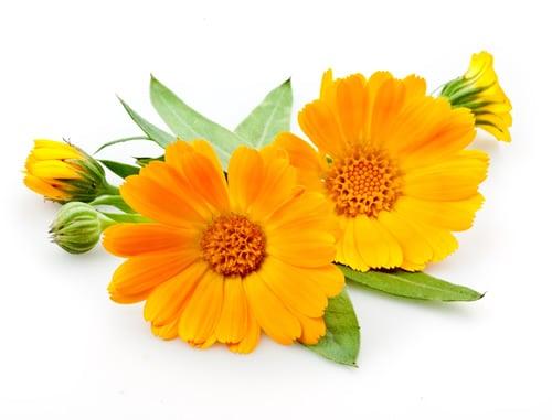 Chuyện kể thành phần: Pot Marrigold - Cúc Xu Xi: Loài hoa