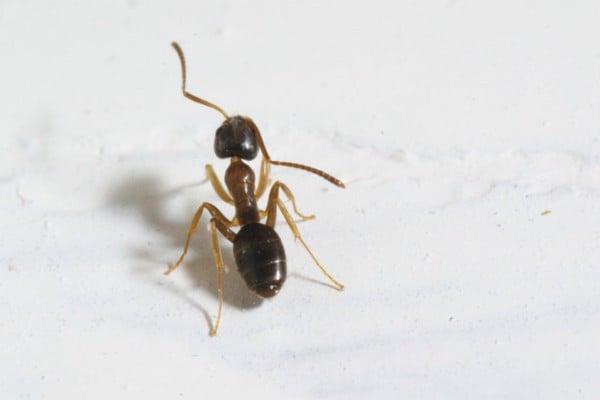 Nhận dạng kiến và phương pháp loại trừ,, kiến nhà