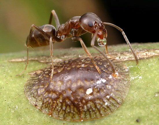 Nhận dạng kiến và phương pháp loại trừ, kiến argentina