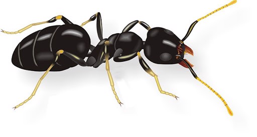 Nhận dạng kiến và phương pháp loại trừ, kiến chân trắng