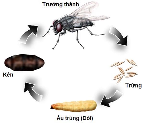 vòng đời loài ruồi