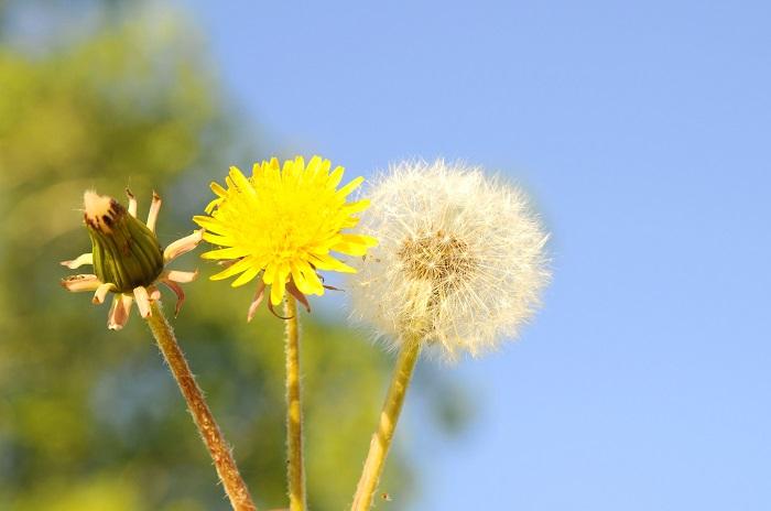 Khám phá ý nghĩa hoa bồ công anh với tình yêu và cuộc sống