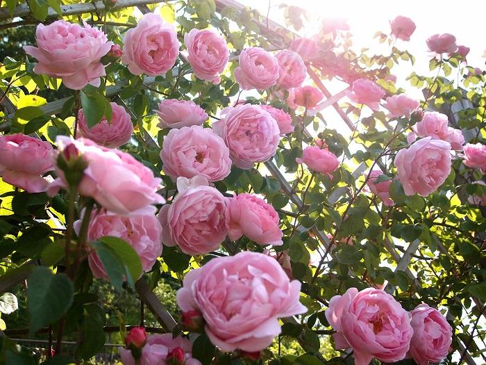 Tìm hiểu cách trồng hoa hồng leo đúng kỹ thuật