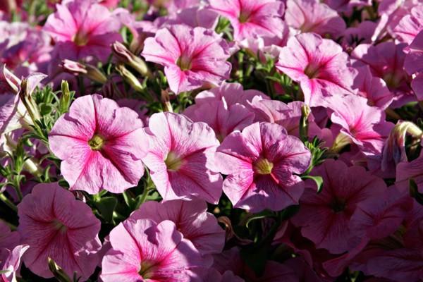 Đặc điểm của hoa dạ yến thảo