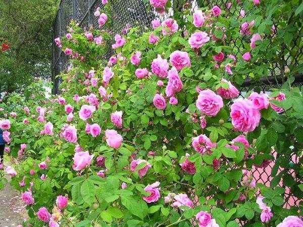 Hạt giống hoa hồng xuân mix