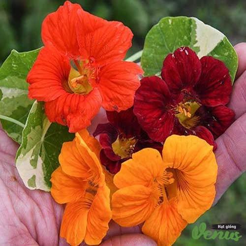 Hạt giống hoa sen cạn mix