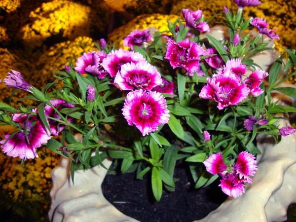 Hoa cẩm chướng đơn