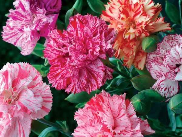 Hoa cẩm chướng kép