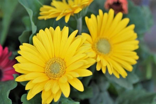 Hạt giống hoa cúc vàng
