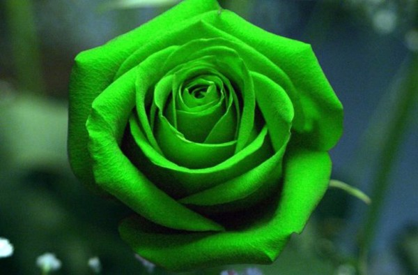 Hoa hồng xanh dành tặng cho những người yêu đơn phương