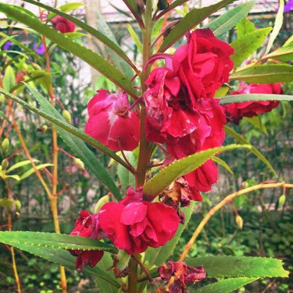 Hạt giống hoa móng tay đỏ kép