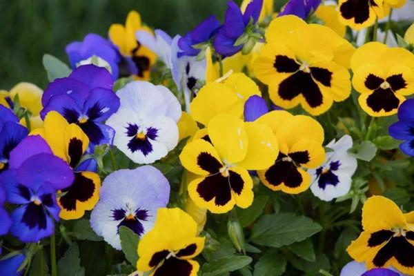 Hạt giống hoa Hoa Pansy/Cánh bướm