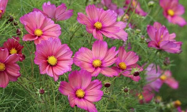 Hạt giống hoa sao nhái đơn mix