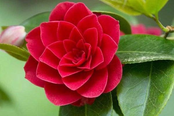 Hạt giống hoa Trà mi Nhật mix