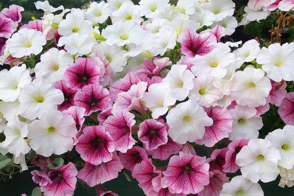 Kỹ thuật trồng và chăm sóc hoa dạ yến thảo rất đơn giản