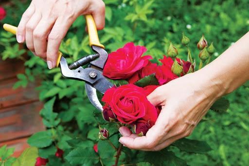 Tỉa nhánh thì cành chính được đủ dinh dưỡng ra nhiều hoa hơn